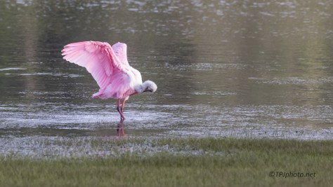 Spoonbill Bouncing Around - click to enlarge