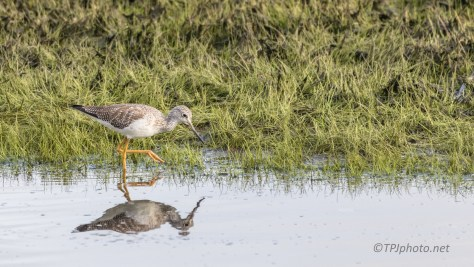 Yellow Legs - Click To Enlarge