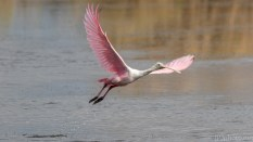 Kicking Up Water, Spoonbill - click to enlarge