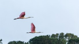 Fast Flying Pink Things, Spoonbills - click to enlarge