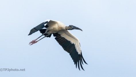 Wood Stork In Flight, Perfect Distance - click to enlarge