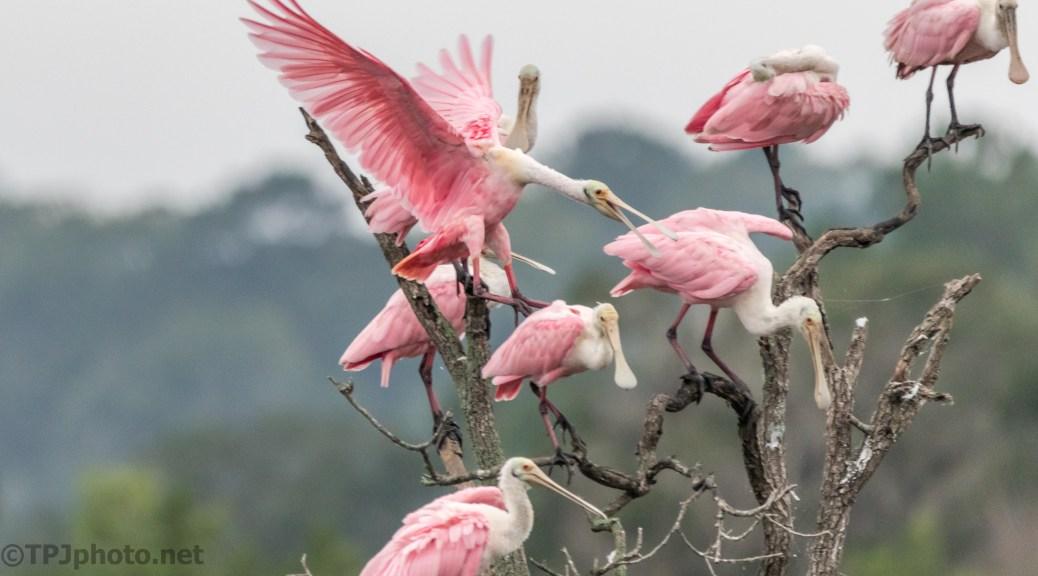 Pink Tree, Spoonbills - click to enlarge
