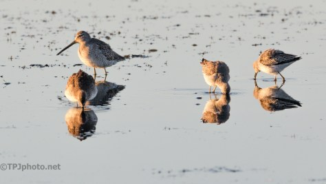 Dowitcher - click to enlarge