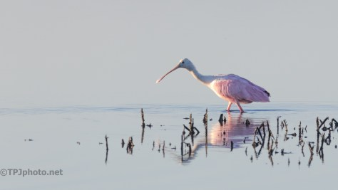 Roseate Spoonbill, First Light - click to enlarge