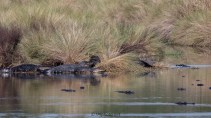 How Many Alligators - click to enlarge