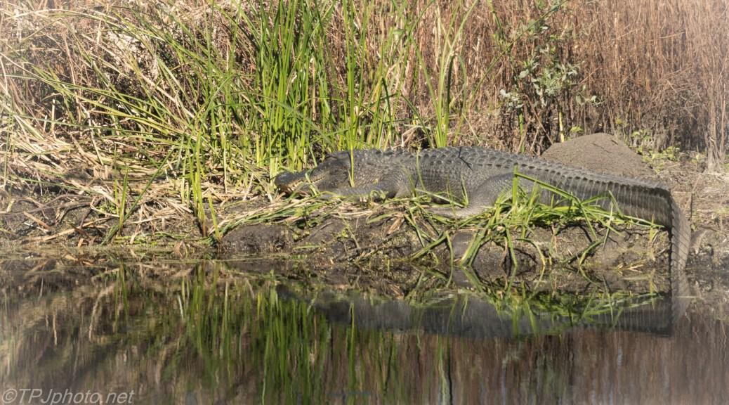 Sleeping Beauty, Alligator - click to enlarge