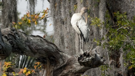 Wood Stork, Portrait - click to enlarge