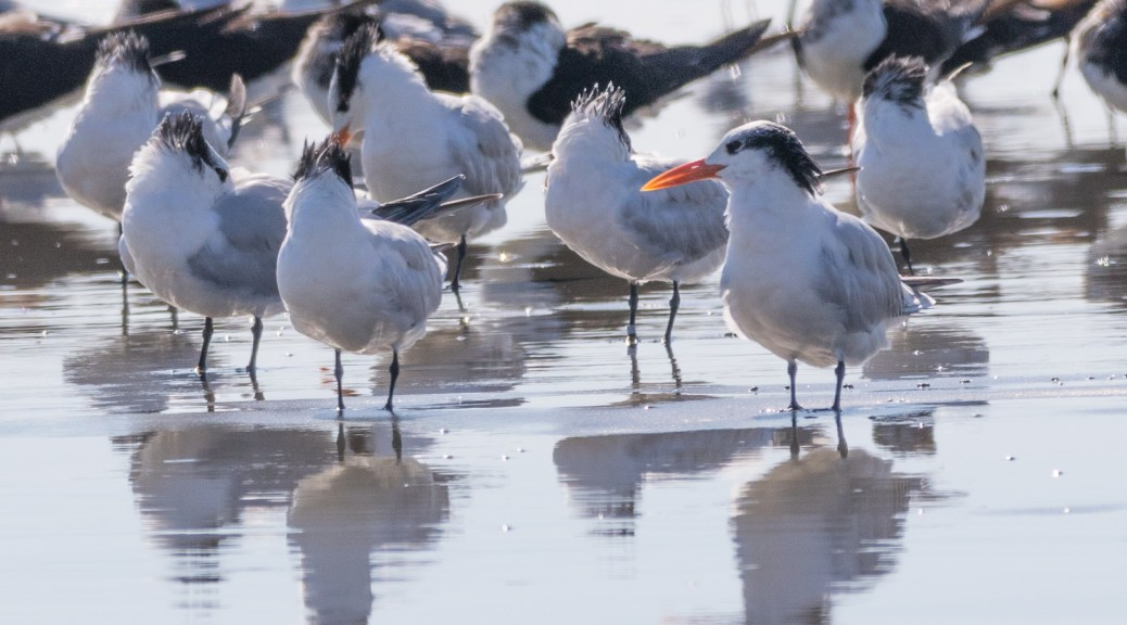 Royal Tern - click to enlarge