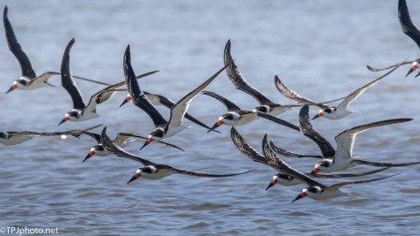 A Few More Black Skimmers - click to enlarge