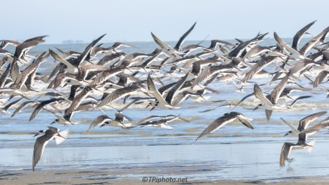 Flock Of Skimmers - click to enlarge