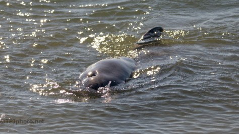 Dolphin Pushing The Fish To Shore - click to enlarge