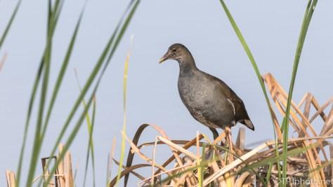 Moor Hen, Marsh Alarm System - click to enlarge