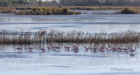 Pink Party, Spoonbills - click to enlarge