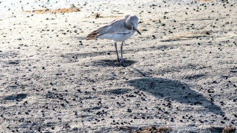 Willet And His Shadow - click to enlarge