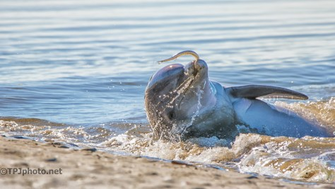 Dolphin, Successful Strand Feeding - click to enlarge