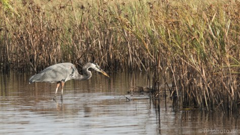 Great Blue Heron Watching The Reeds - click to enlarge