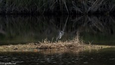 Tricolored Heron With Yellow Legs - click to enlarge