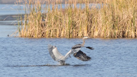 Two Herons, Same Spot - click to enlarge