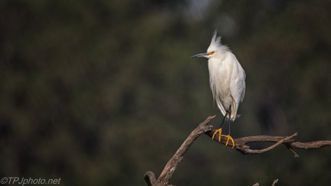 Nice Shoes, Snowy Egret - click to enlarge