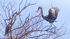 She Accepts The Sticks And It Begins, Heron - click to enlarge