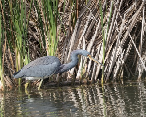 Tricolored Heron At The Edge Of A Marsh - click to enlarge