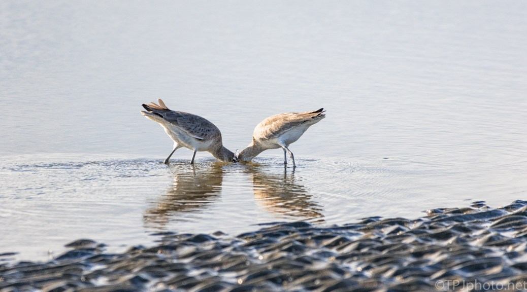 A Willet Couple - click to enlarge