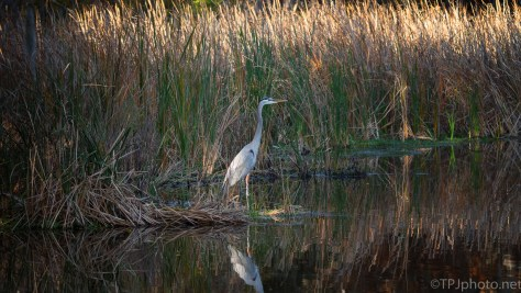 Great Blue, Edge Of The Marsh - click to enlarge
