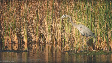 Great Blue Heron By The Tall Reeds - click to enlarge