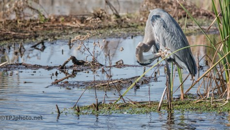 Great Blue Heron, Winter Sun - click to enlarge