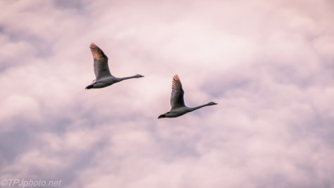 Tundra Swans - click to enlarge