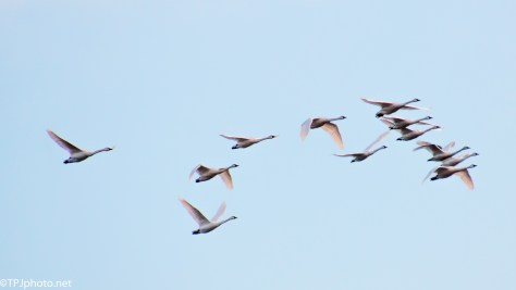 Tundra Swan Fly By - click to enlarge