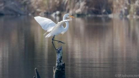 Great Egret Getting A Dry Spot - click to enlarge