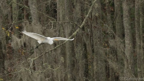 Great Egret, In Flight At The Edge Of The Swamp - click to enlarge