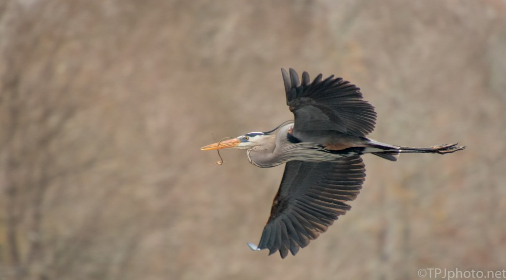 Making A Loop, Great Blue - click to enlarge