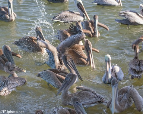 Pile A Pelicans - click to enlarge