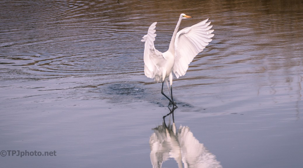 Skipping Egret - click to enlarge