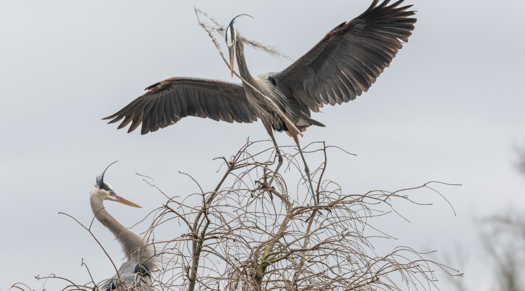 Bringing Home Another One, Heron - click to enlarge