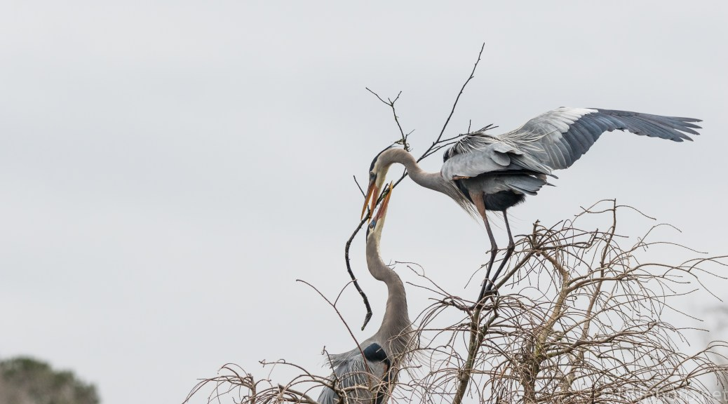 Passing The Stick, Great Blue Herons - click to enlarge