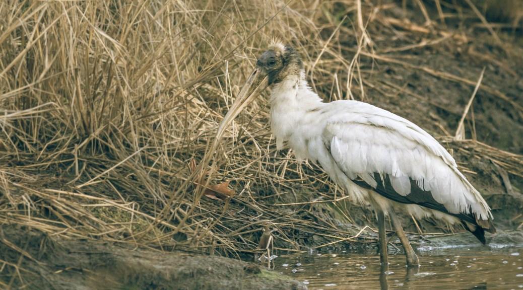 Juvenile Wood Stork Fishing - click to enlarge