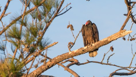 Turkey Vulture - click to enlarge