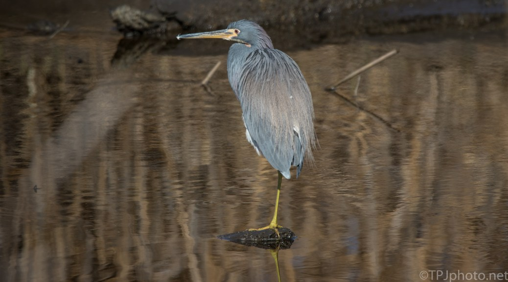 Basic Tricolored Heron Image - click to enlarge