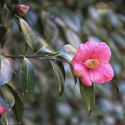 Camellia - click to enlarge