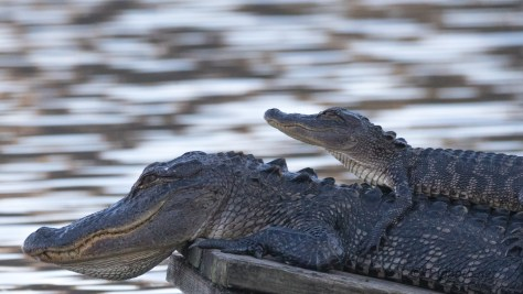A Little More Family Time, Alligator - click to enlarge