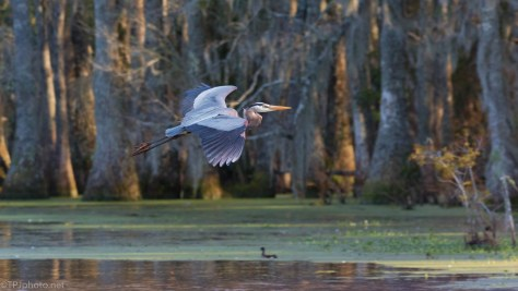 Late Fly By, Heron - click to enlarge