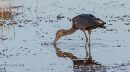 Glossy Ibis Hunting - click to enlarge