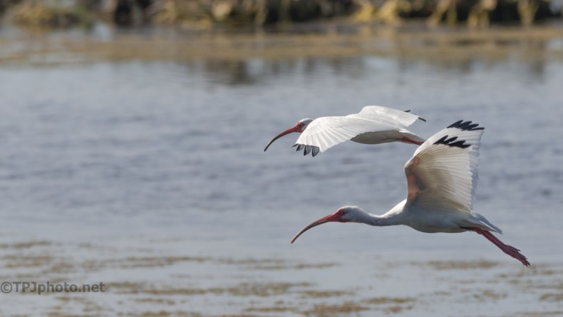 Catching 2 White Ibis - click to enlarge