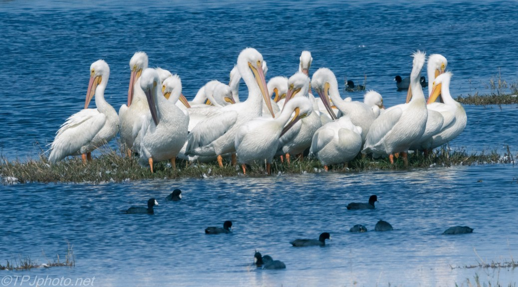 White Pelicans (2) - click to enlarge