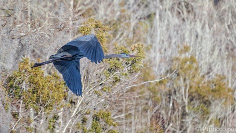 Cold Background, Great Blue Heron - click to enlarge