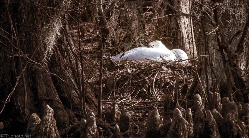 Hidden Nest, Swan - click to enlarge