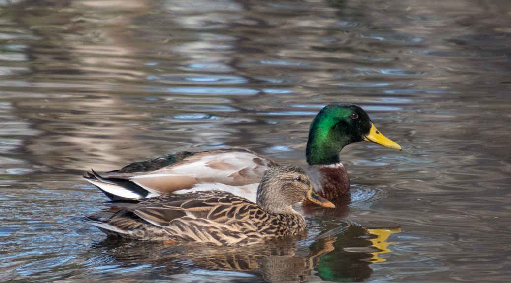 Mallards, In Cypress Swamp - click to enlarge